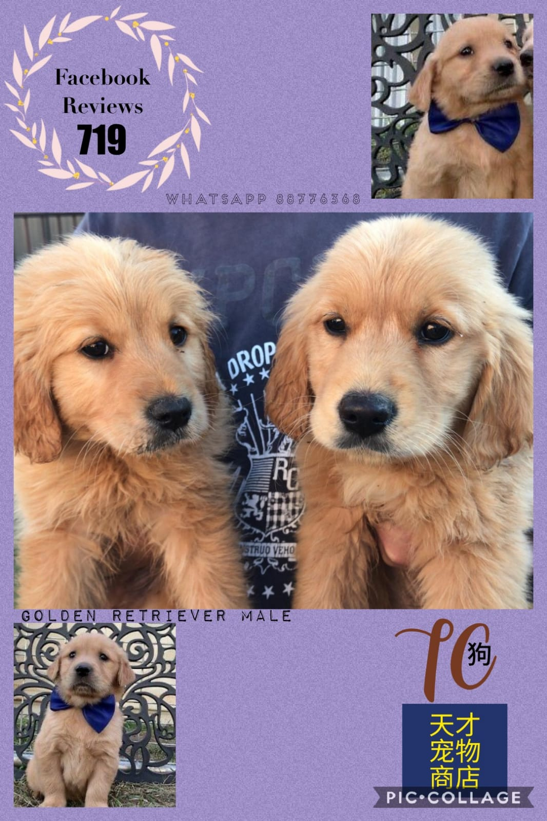 Imported Golden Retriever Puppies For Sale Singapore