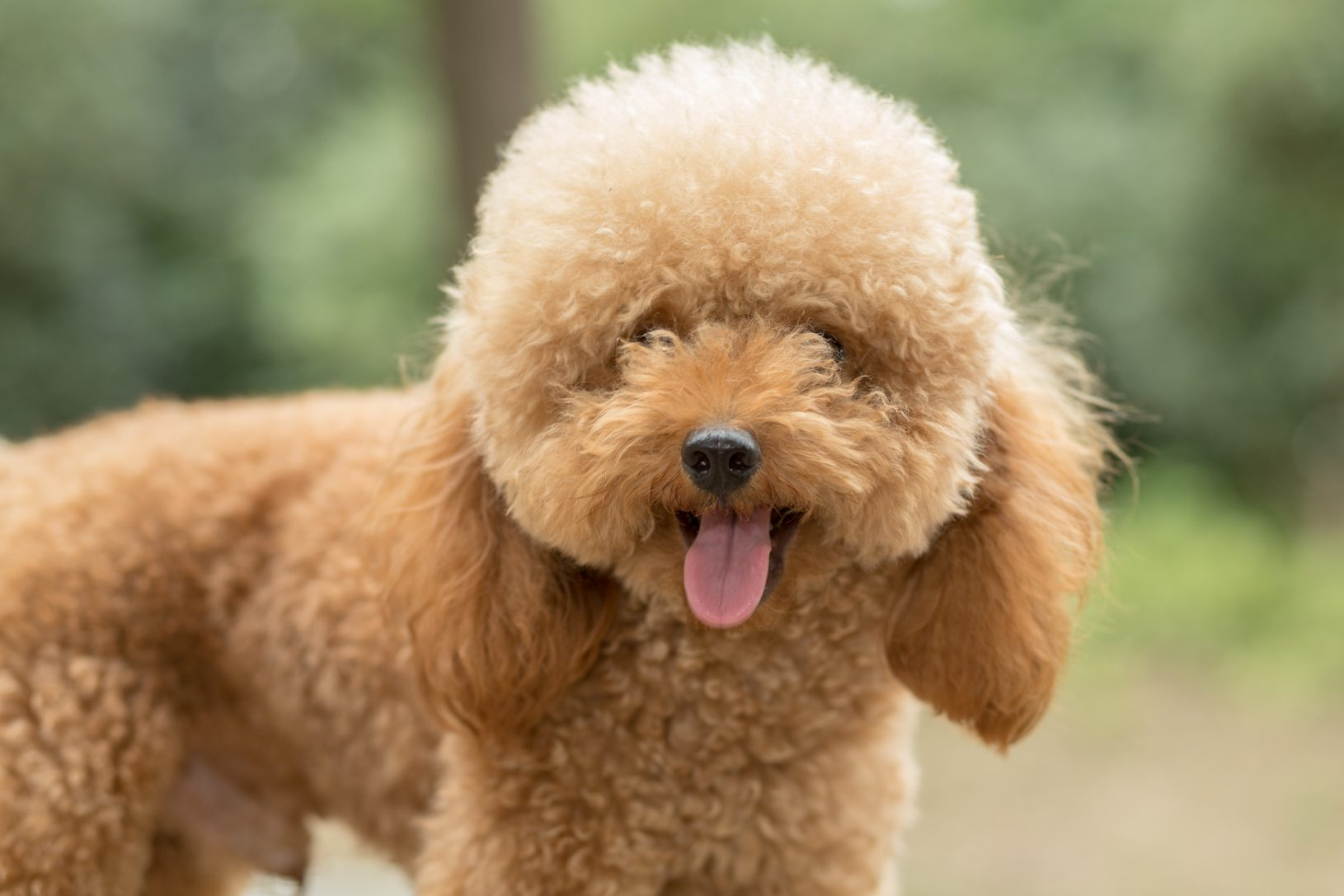 Small Dog Breeds Puppies Sale In Singapore Petshop