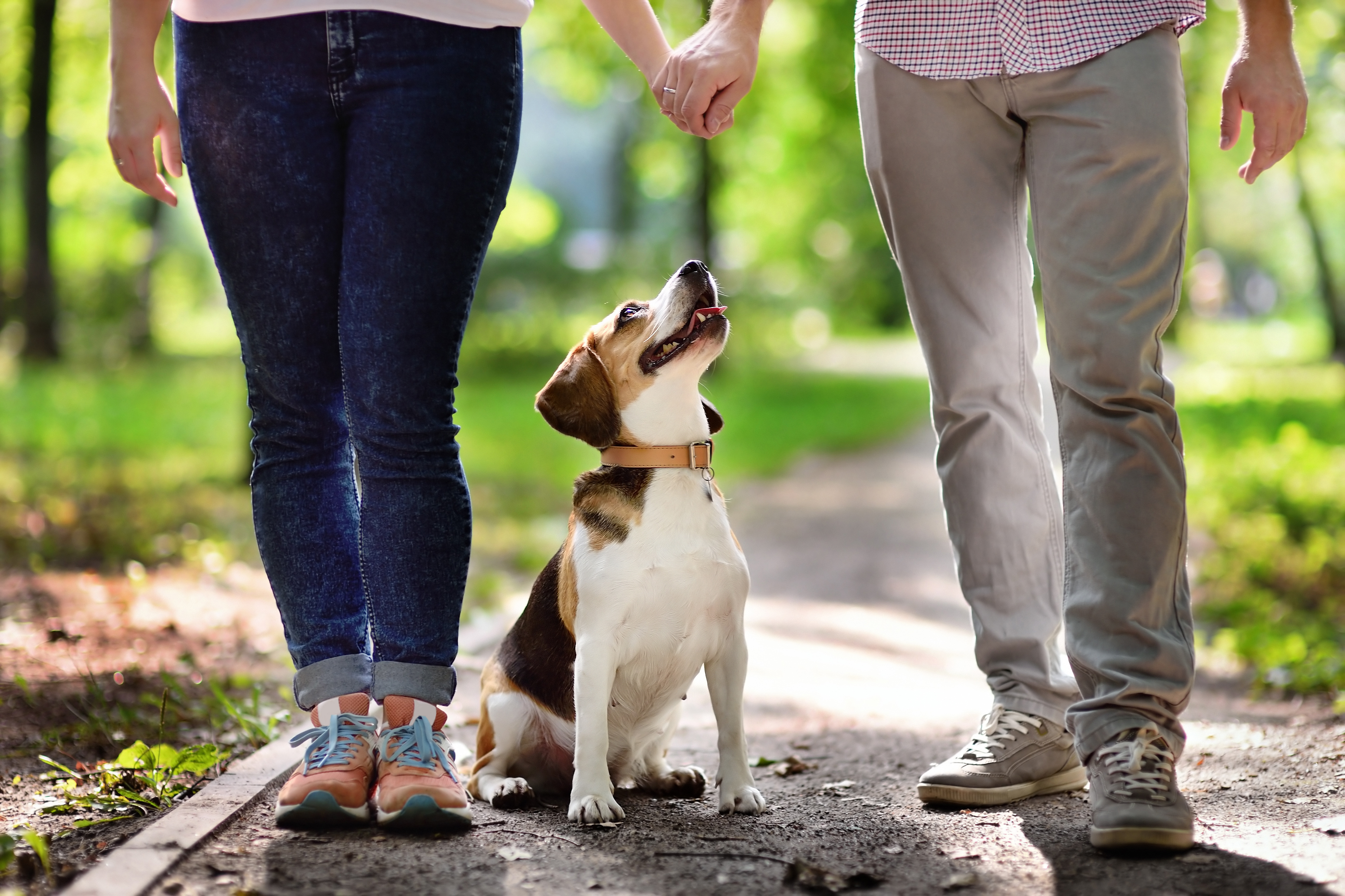 Beagle Puppy with owner
