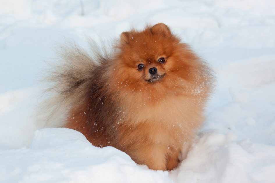 POMERANIAN PUPPIES - Puppies Sale In Singapore Petshop