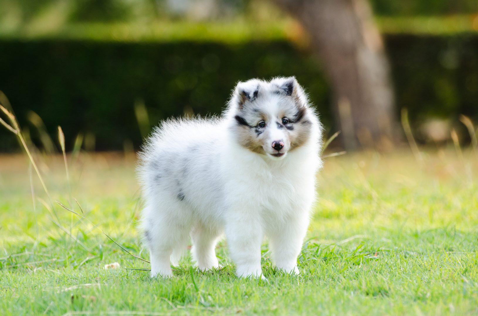 SHETLAND SHEEP DOG PUPPY