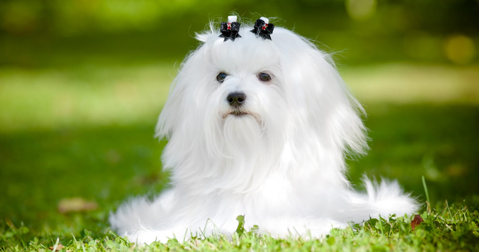 Maltese Puppies For Sale Puppies Sale In Singapore Petshop 700 Facebook Reviews