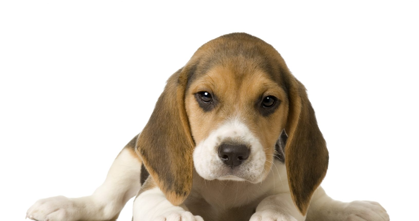 Beagle Puppies For Sale Singapore - Puppies Sale In Singapore Petshop