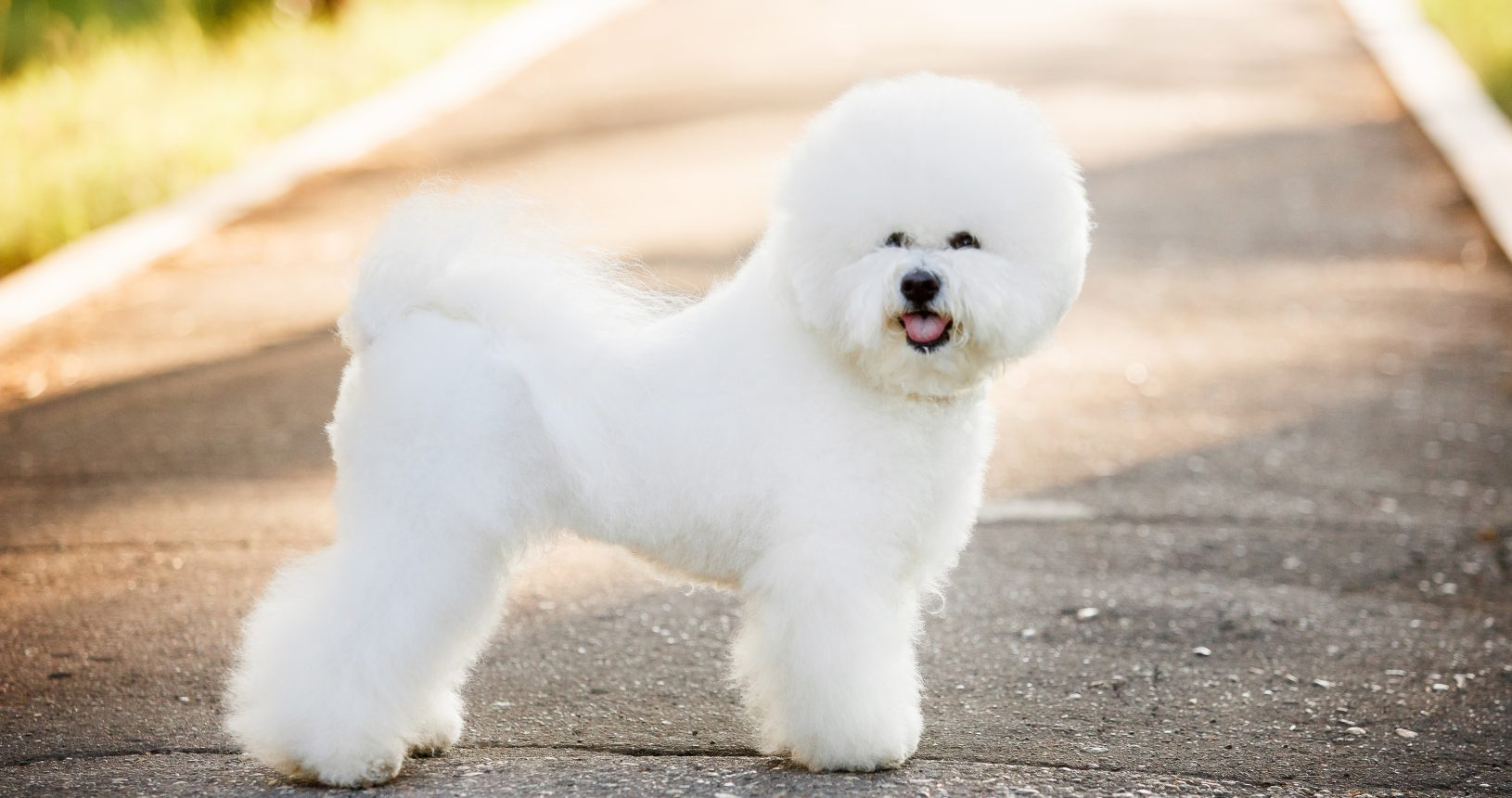 Bichon Frise Puppies For Sale Singapore - Puppies Sale In