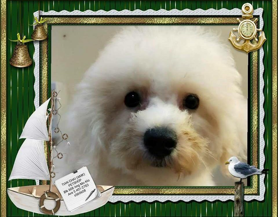 Female, Microchipped, 3 Vaccination Done, Vet Checked and Dewormed Bichon Frise Puppy For Sale Singapore