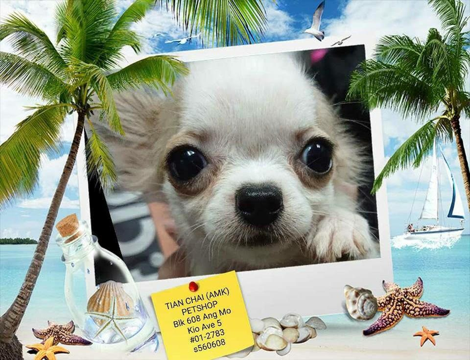 Brown White Chihuahua For Sale Singapore. Female, Microchipped, 2 Vaccination Done, Vet Checked and Dewormed