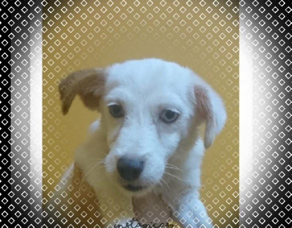 Jack Russell Puppy For Sale Singapore Female, Microchipped, 3 Vaccination Done, Vet Checked and Dewormed