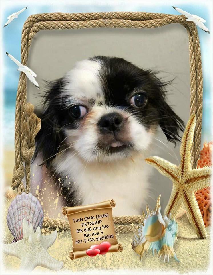 Japanese Chin X Shih Tzu Puppies For Sale Singapore Pet Shop