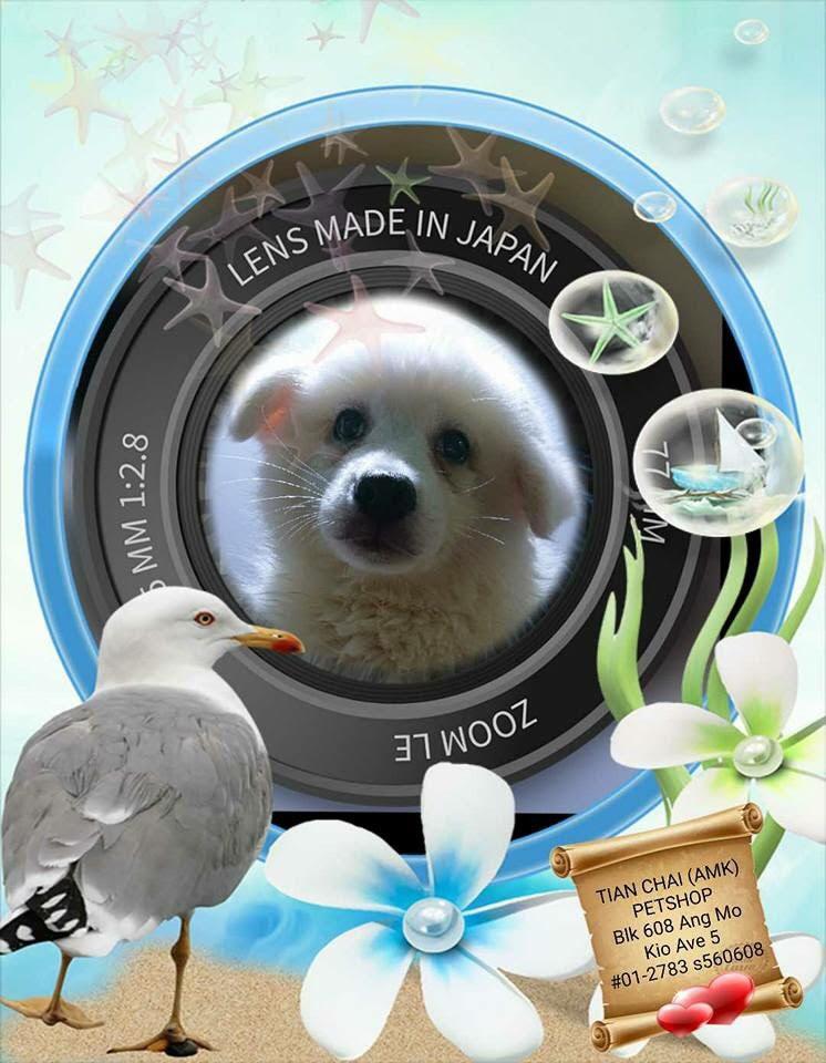 Japanese Spitz Puppies For Sale Singapore Pet Shop 06-18