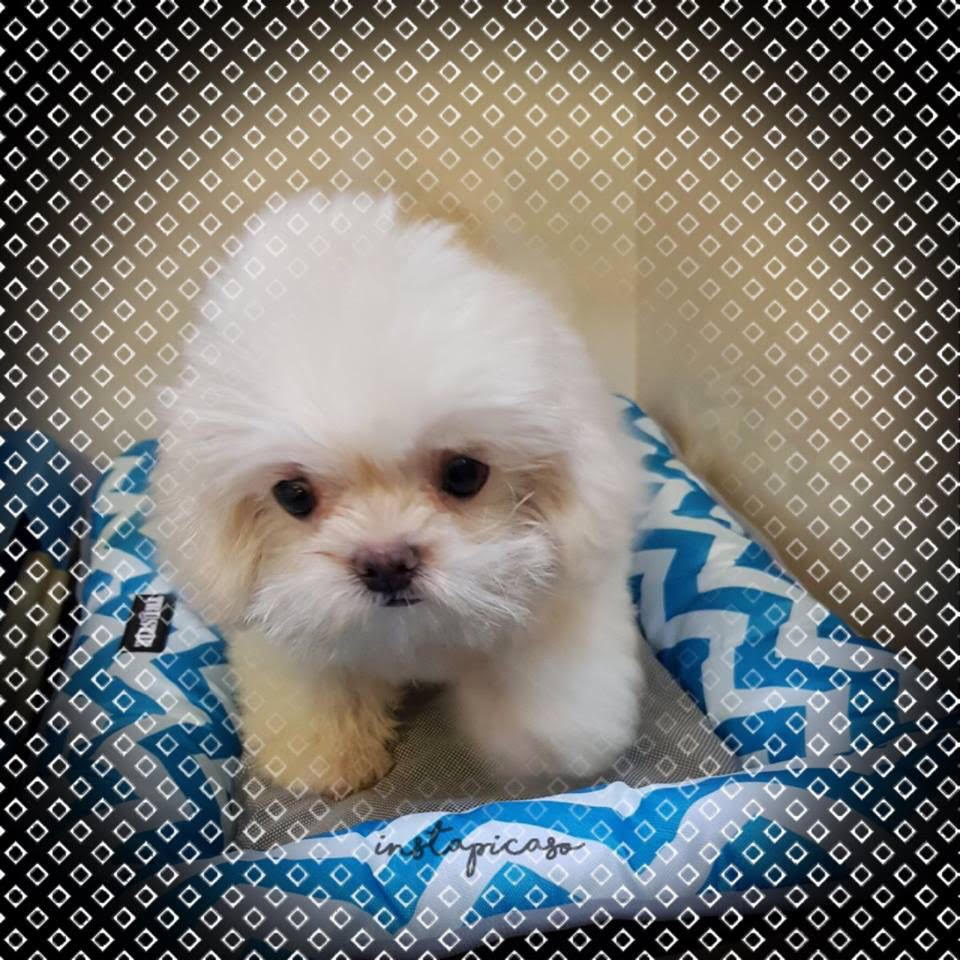 Pegkinese X Maltese Puppies For Sale Singapore Pet Shop Puppies