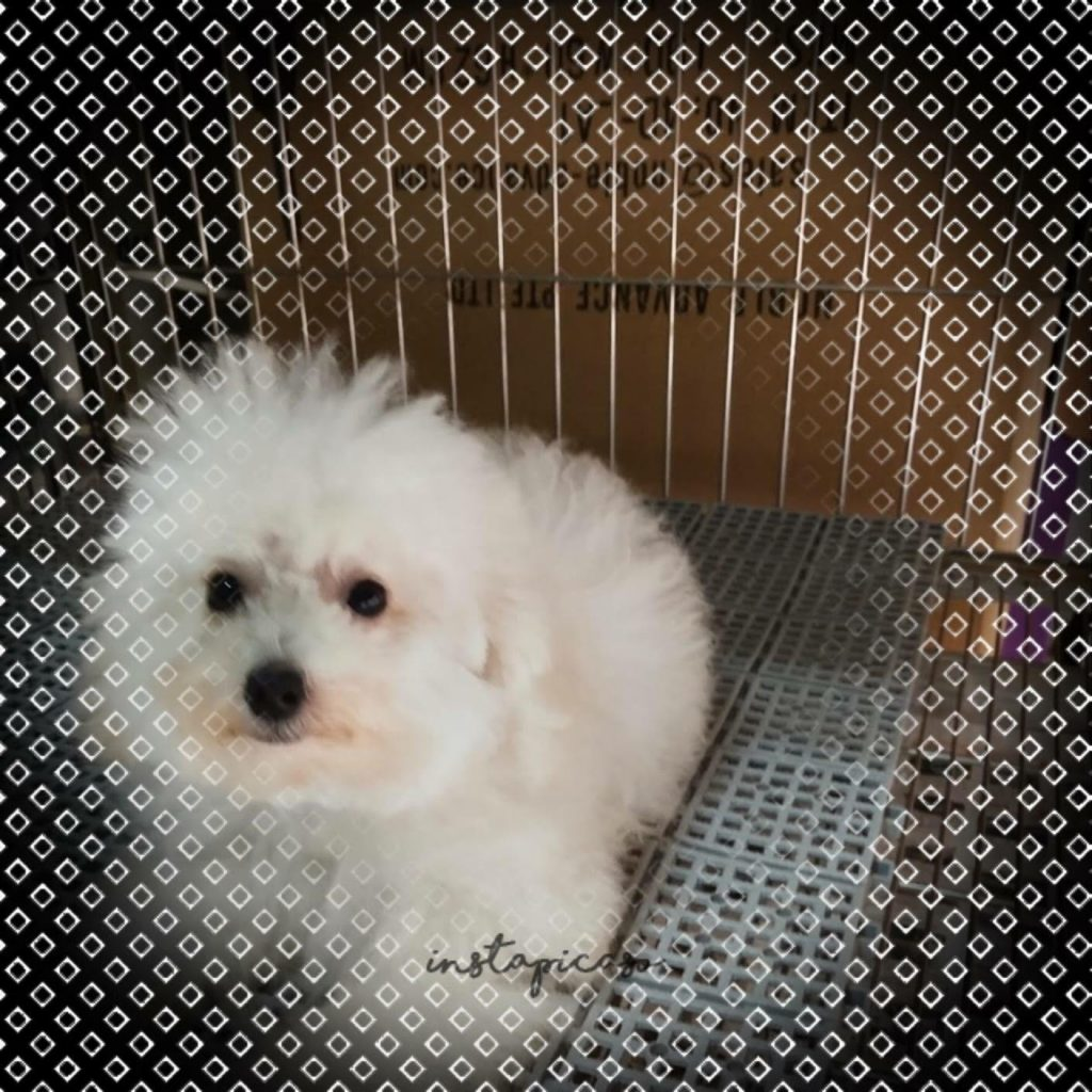 White Tiny Toy Poodle Puppies For Sale Singapore Pet Shop