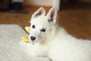Short Coat White Dog