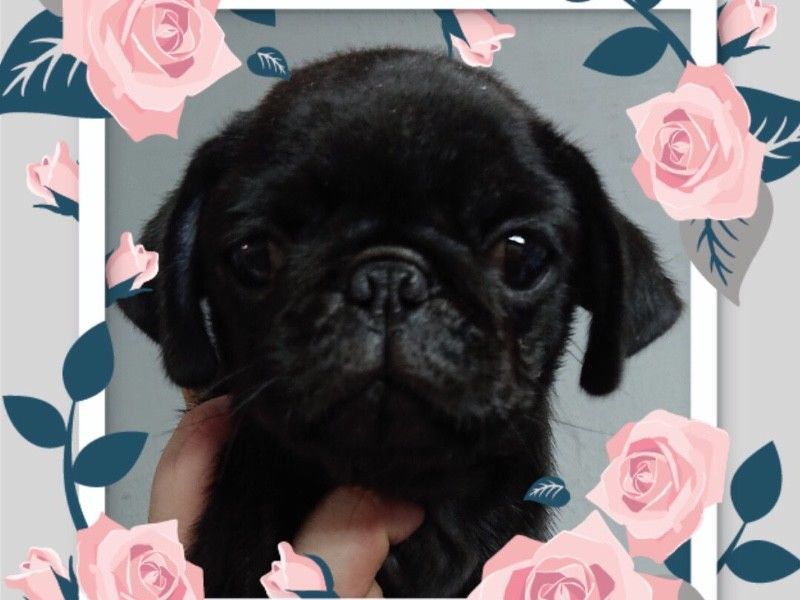 Black Pug Puppies For Sale Singapore