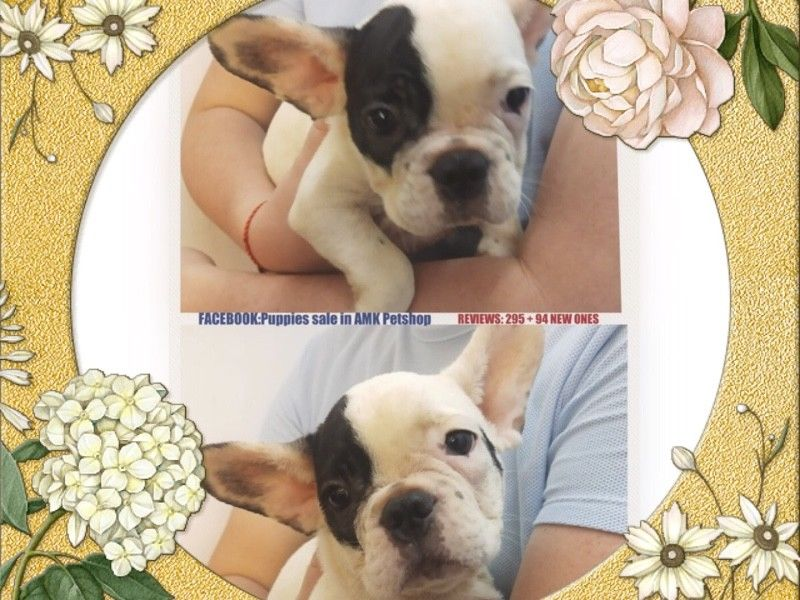 Black White French Bulldog Puppies For Sale Singapore