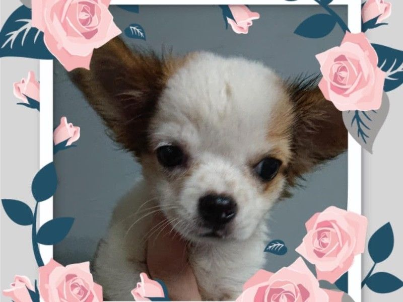 Brown White Chihuahua Puppies For Sale Singapore