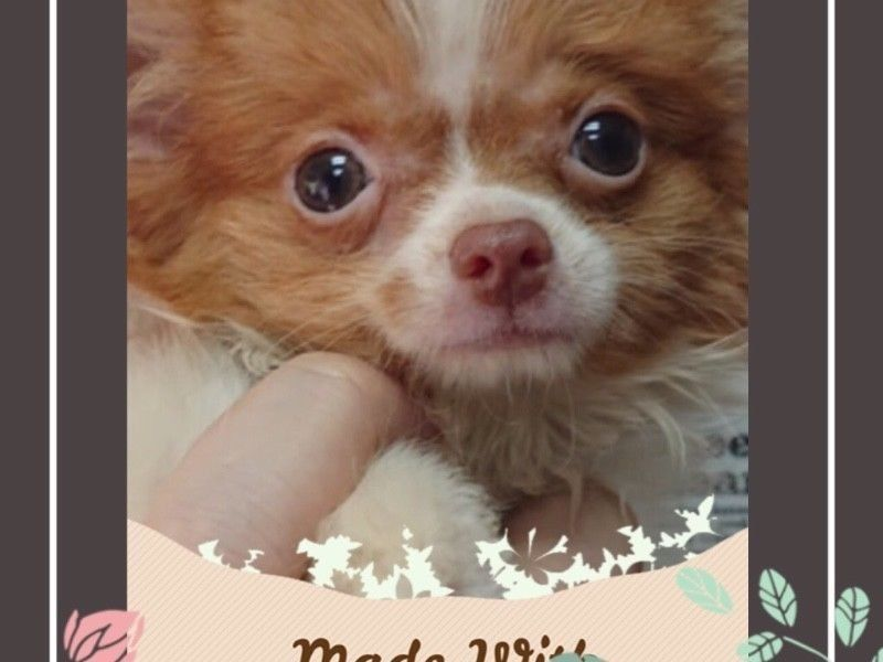 Brown White Chihuahua Puppies For Sale Singapore Pet Shop