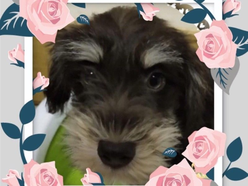 Chocolate Schnauzer Puppies For Sale Singapore