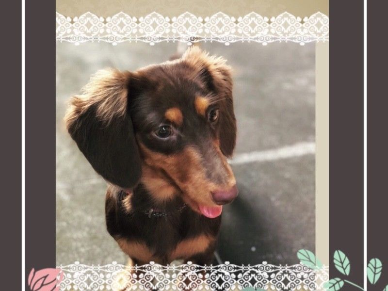 Chocolate Tan Dachshund Puppies For Sale Singapore