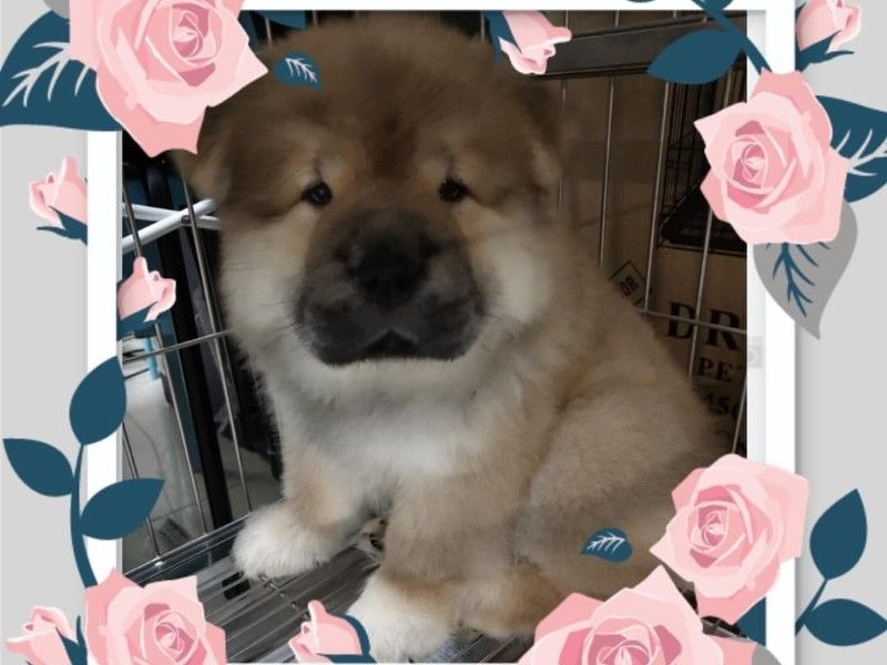 Chow Chow Puppies For Sale Singapore