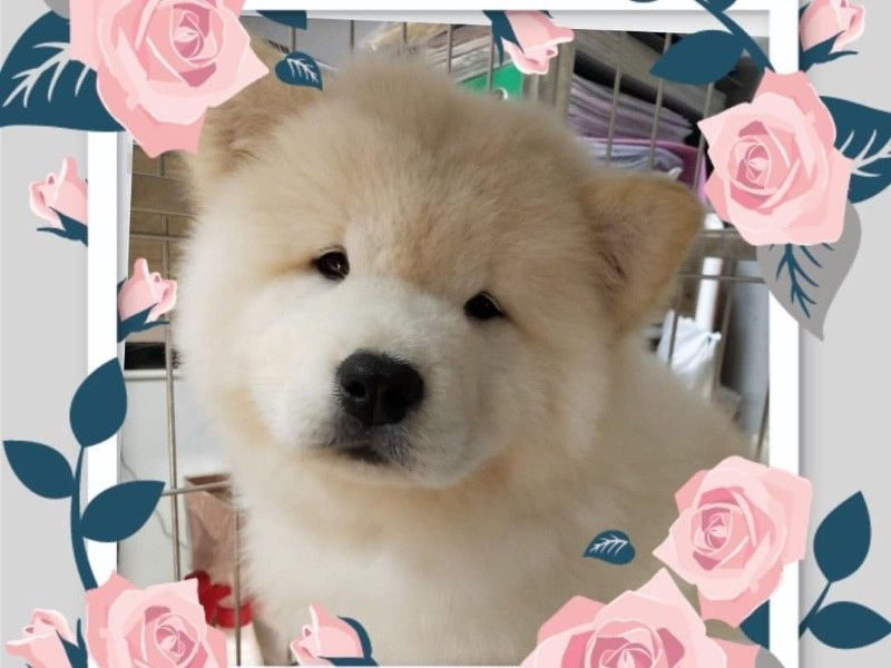 Cream Chow Chow Puppies For Sale Singapore