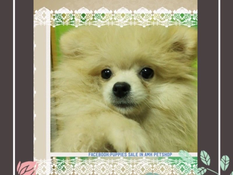 Cream Pomeranian Puppies For Sale Singapore