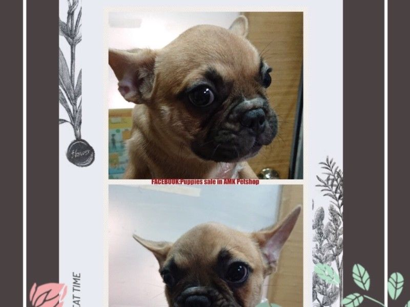 Fawn French Bulldog Puppies For Sale Singapore