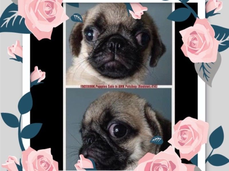 Fawn Pug Puppies For Sale Singapore