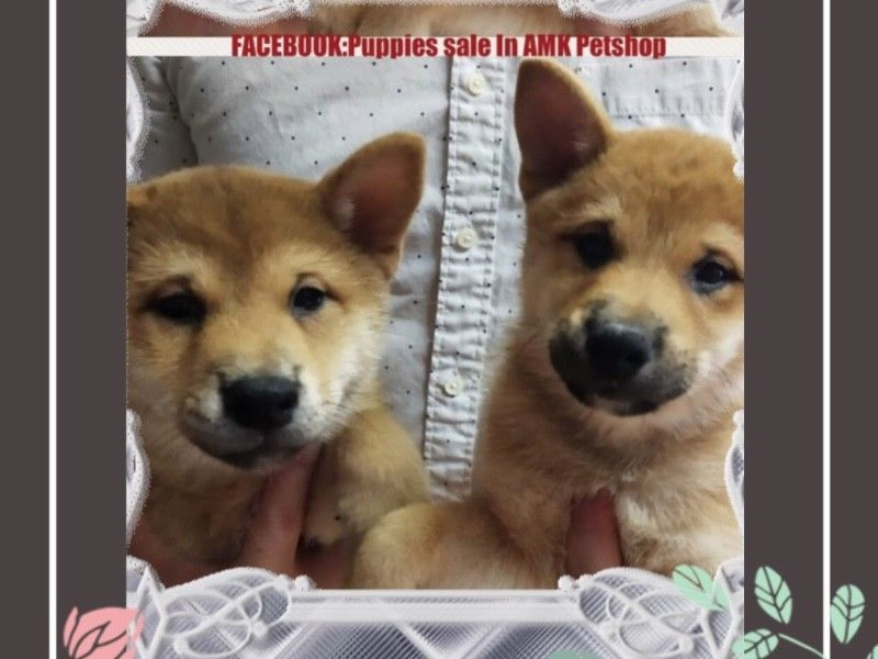 Red Shiba Inu Puppies For Sale Singapore