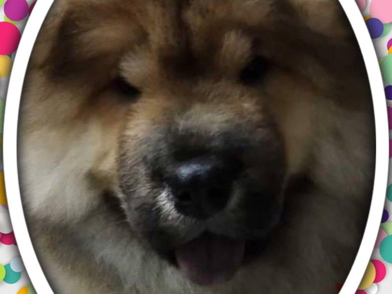 Sable Chow Chow Puppies For Sale Singapore