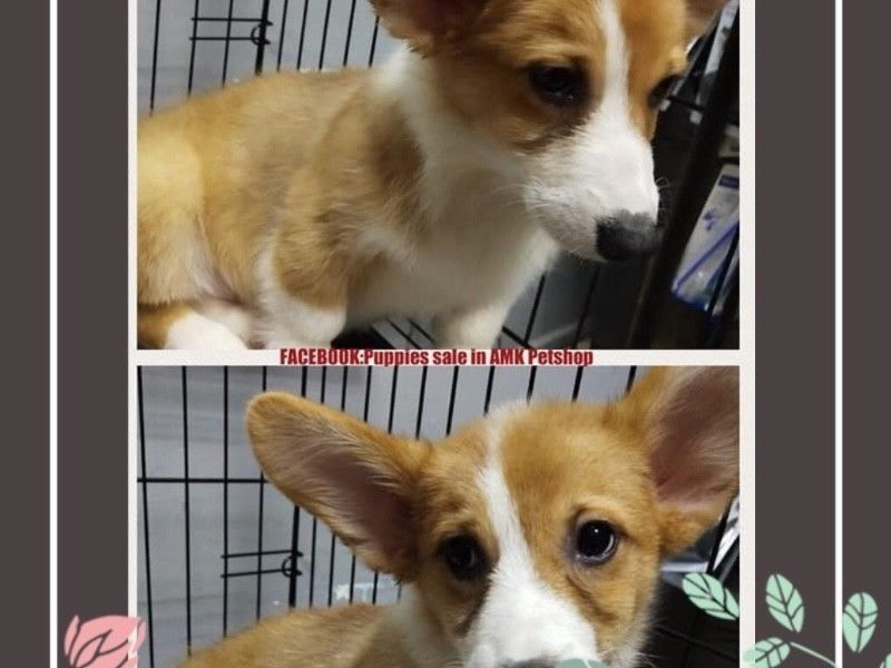 Sable Corgi Puppies For Sale Singapore