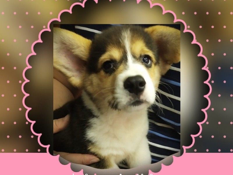 Tri Corgi Puppies For Sale Singapore