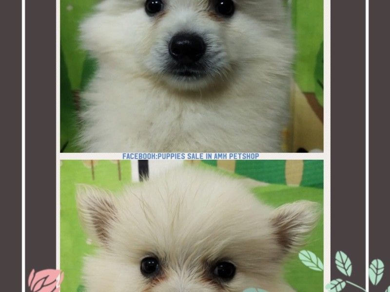 White Japanese Spitz Puppies For Sale Singapore