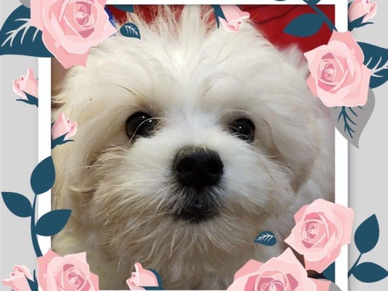 White Maltese Puppies For Sale Singapore
