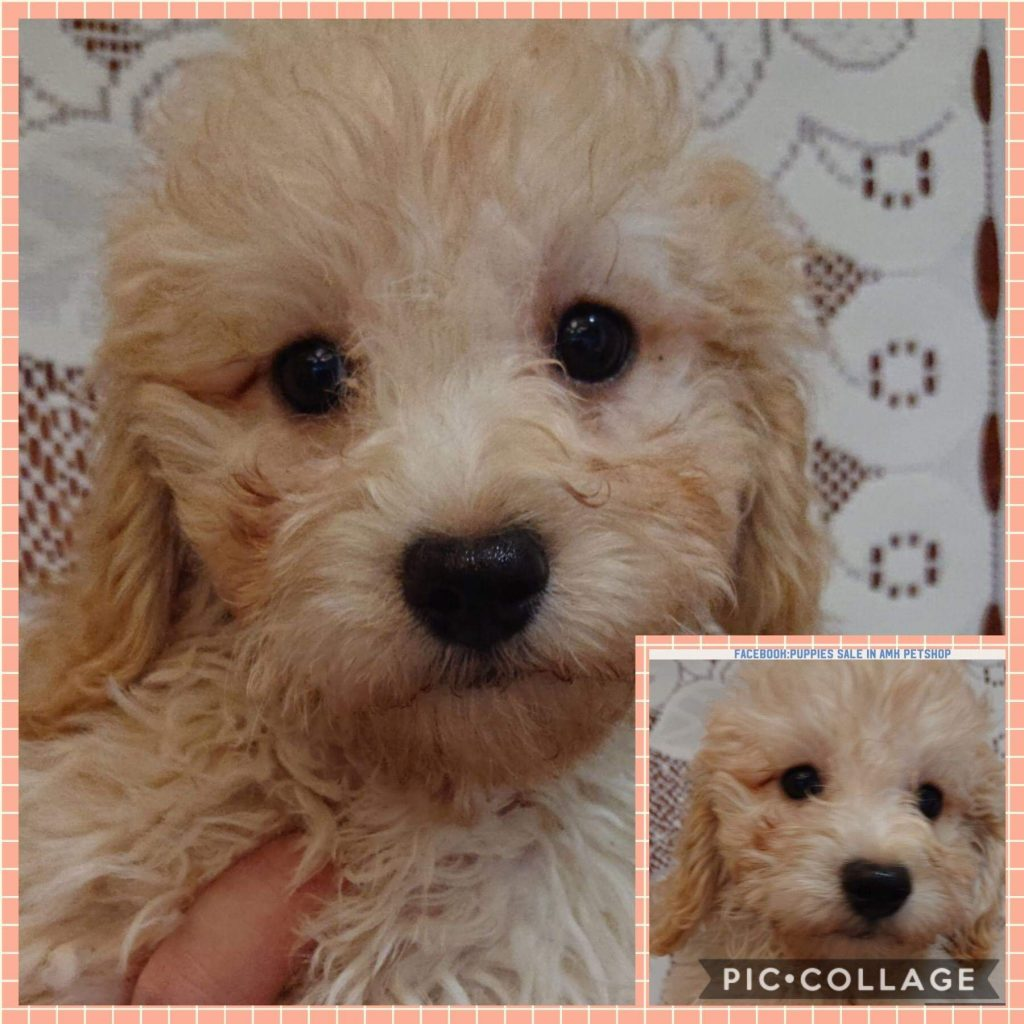 Poochon Puppies For Sale Singapore Puppies Sale In Singapore Pet