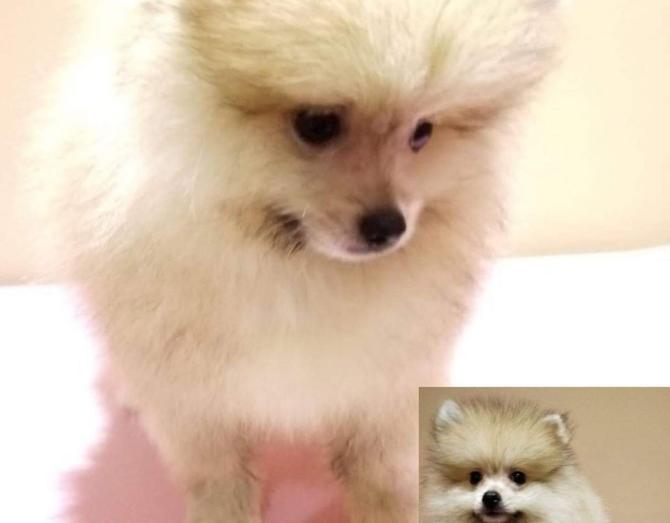 Sable Pomeranian Puppies For Sale Singapore Puppies Sale In Singapore Pet Shop