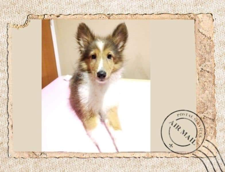Sable Shetland Sheepdog Puppies For Sale Singapore Puppies Sale In Singapore Pet Shop