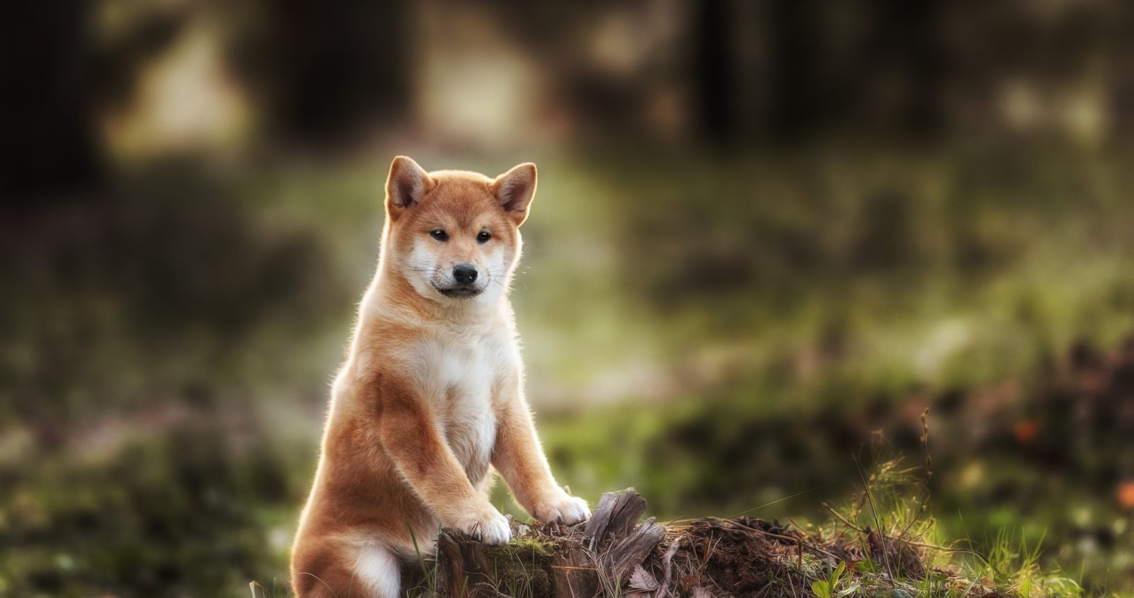 Shiba Inu Puppies For Sale Singapore Puppies Sale In Singapore Petshop