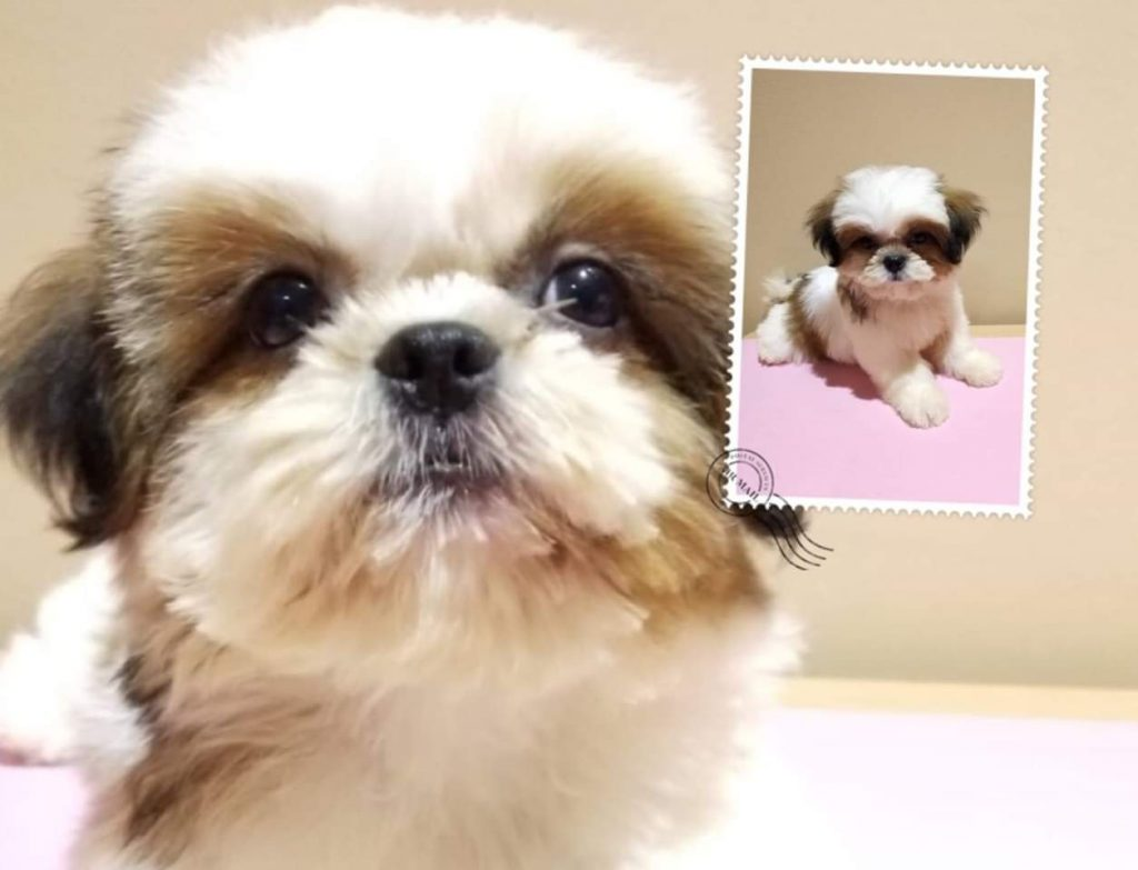 Shih Tzu Puppies For Singapore 19