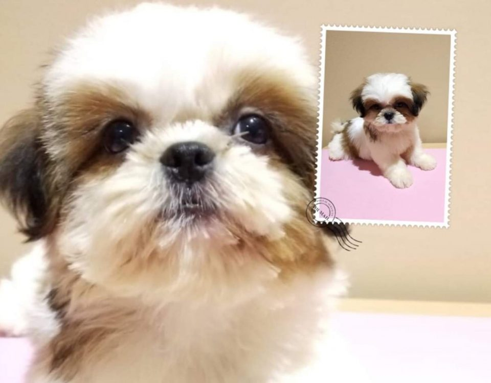 Shih Tzu Puppies For Sale Singapore Puppies Sale In Singapore Pet Shop