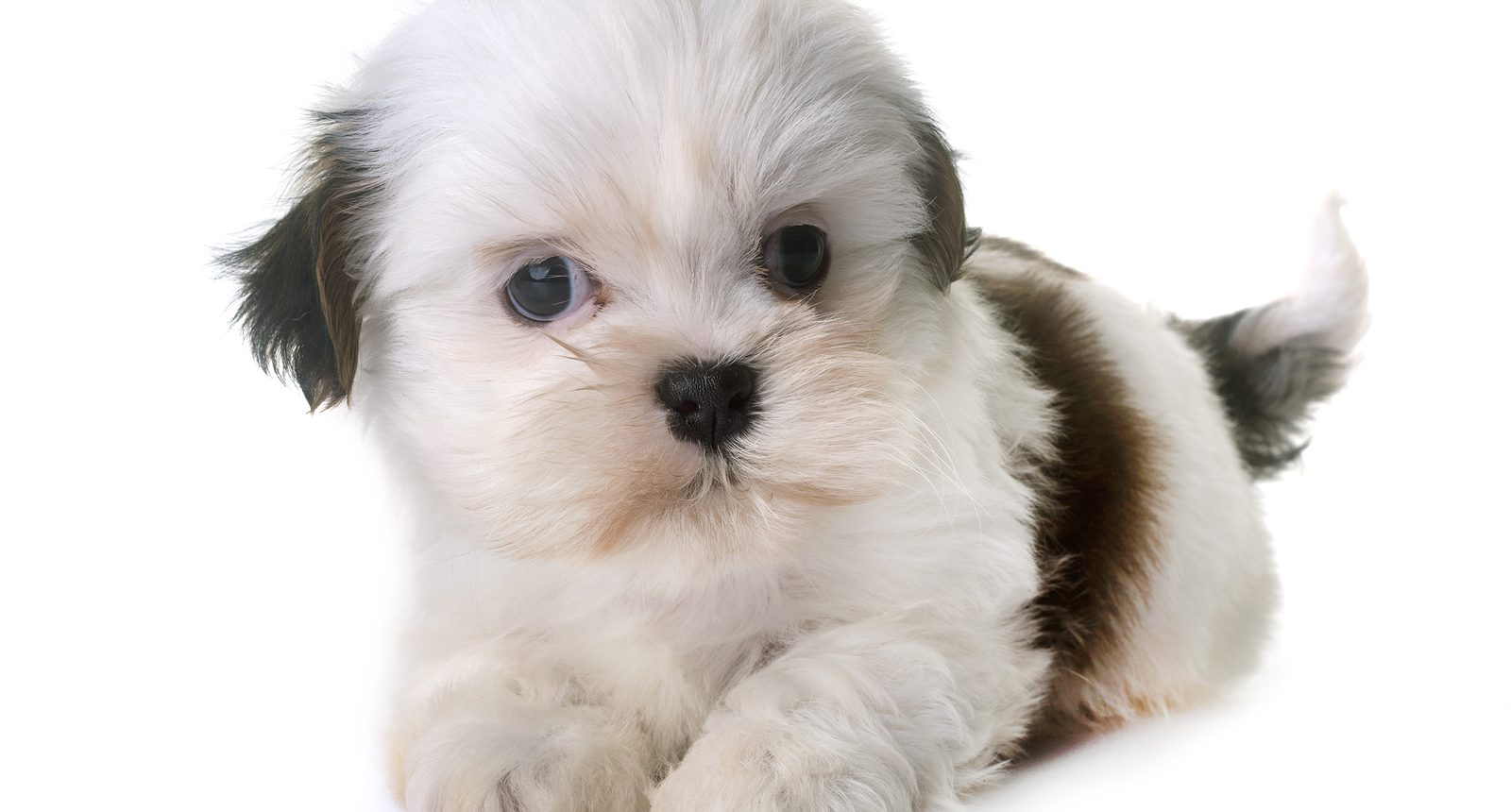 Shih Tzu Puppies For Sale Singapore Puppies Sale In Singapore Petshop 700 Facebook Reviews