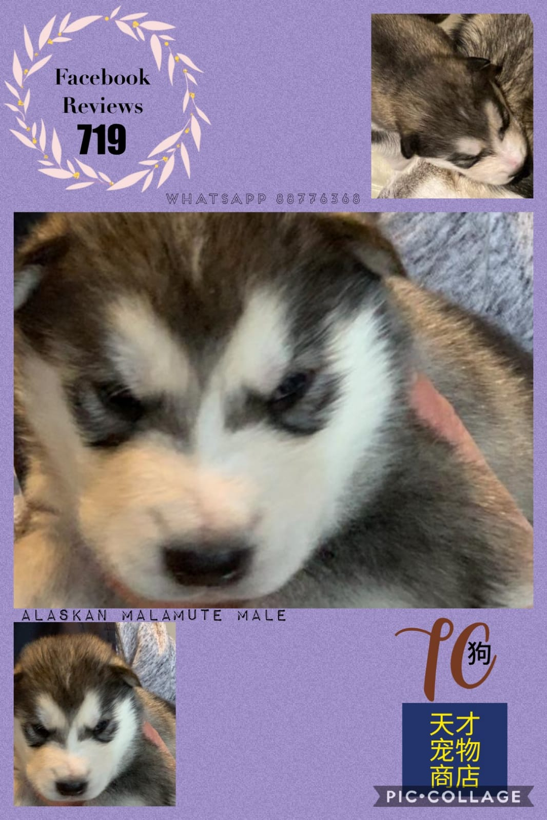 Imported Alaskan Malamute Puppies For Sale Singapore