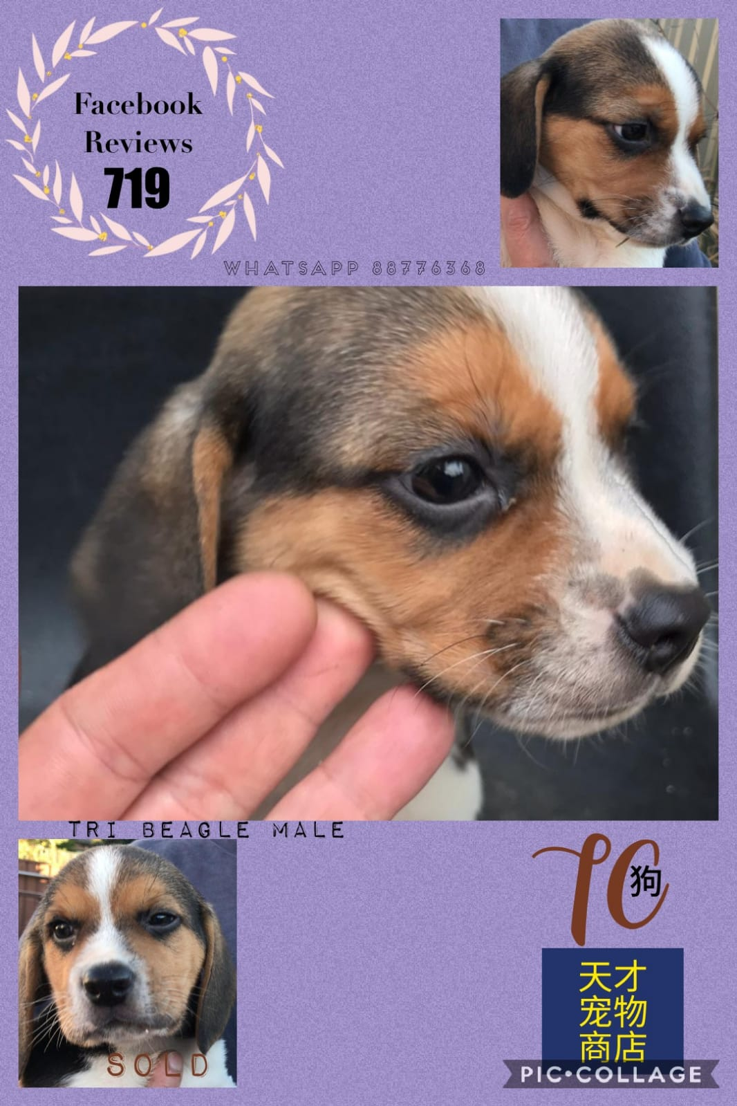 Imported Beagle Puppies For Sale Singapore