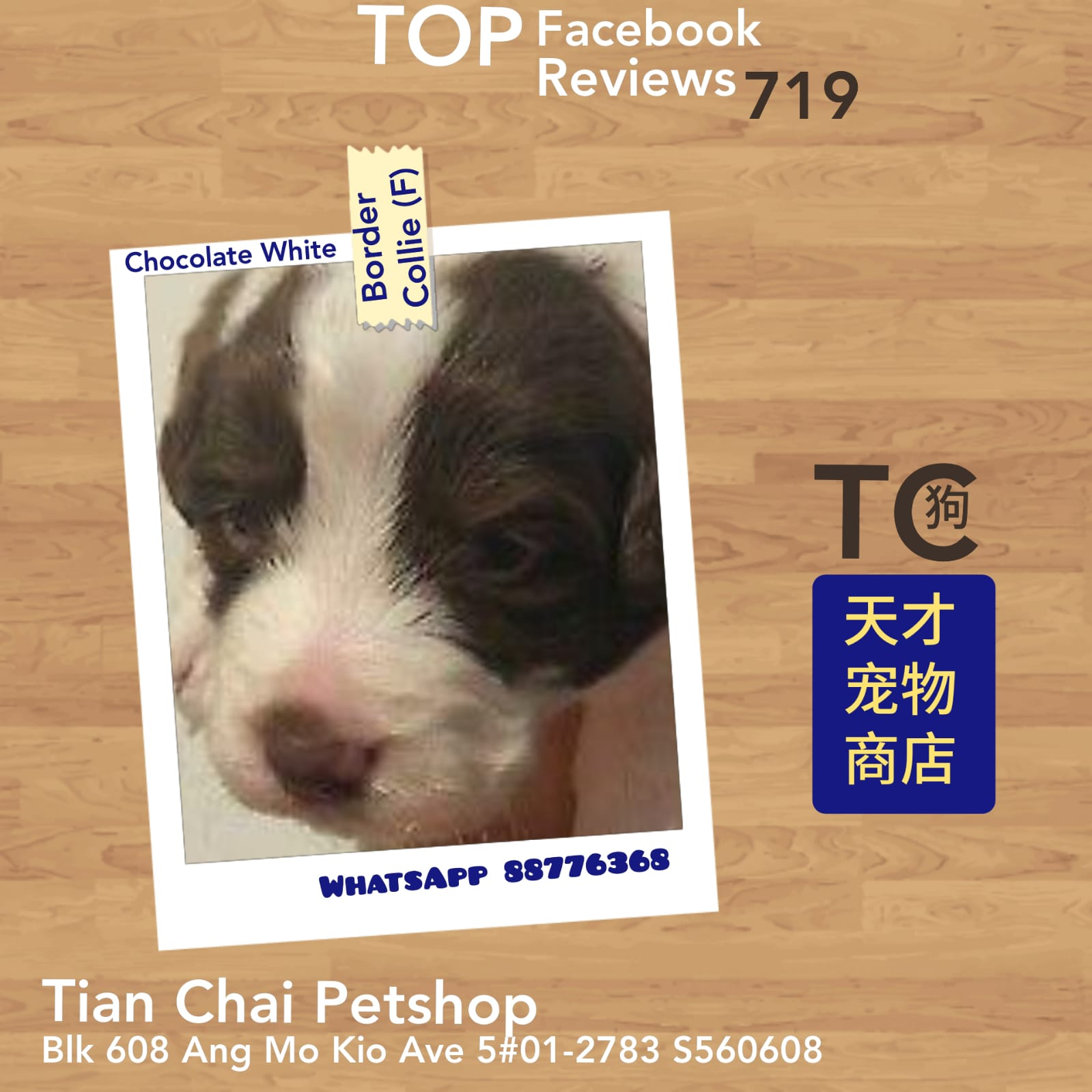 Imported Border Collie Puppies For Sale Singapore