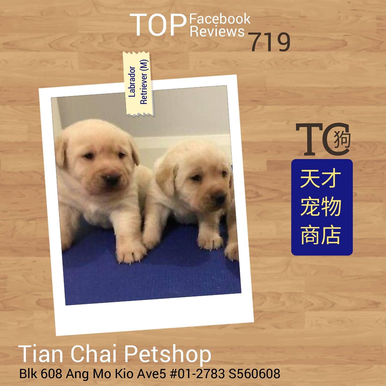 Imported Labrador Retriever Puppies For Sale Singapore